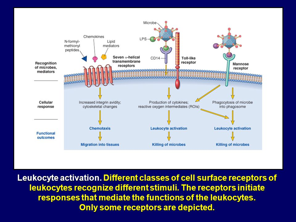 Only some receptors are depicted.