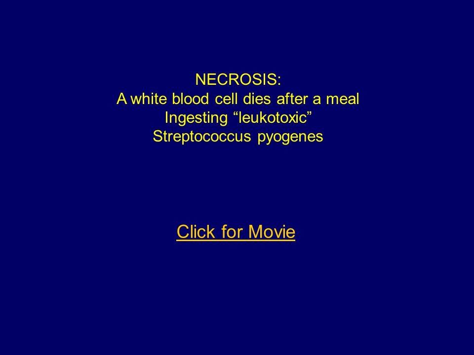 Click for Movie NECROSIS: A white blood cell dies after a meal