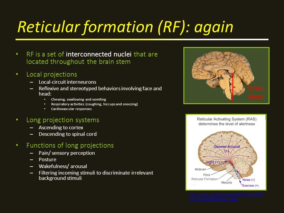 Reticular formation (RF): again