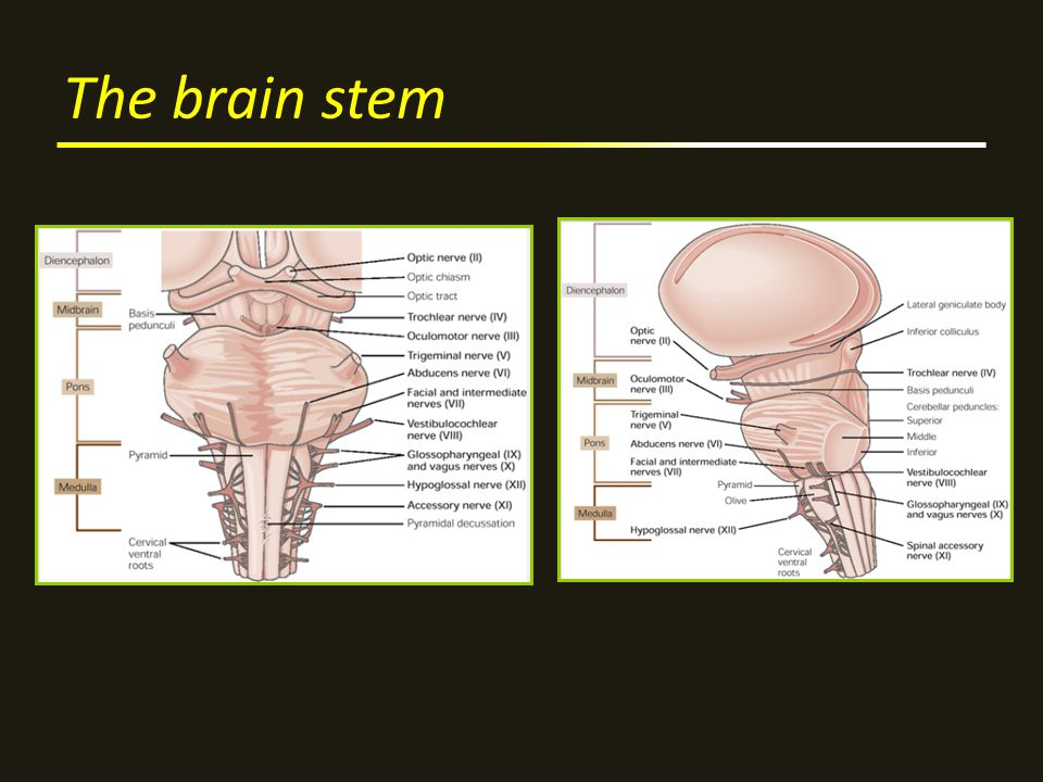 The brain stem