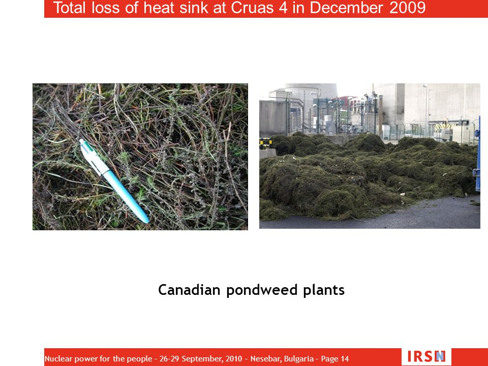 Canadian pondweed plants