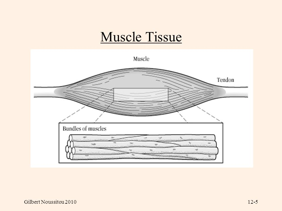 Muscle Tissue Gilbert Noussitou 2010