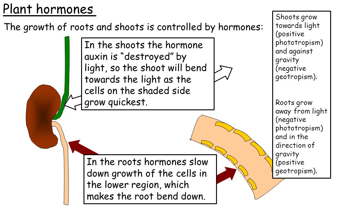 Plant hormones Shoots grow towards light (positive phototropism) and against gravity (negative geotropism).