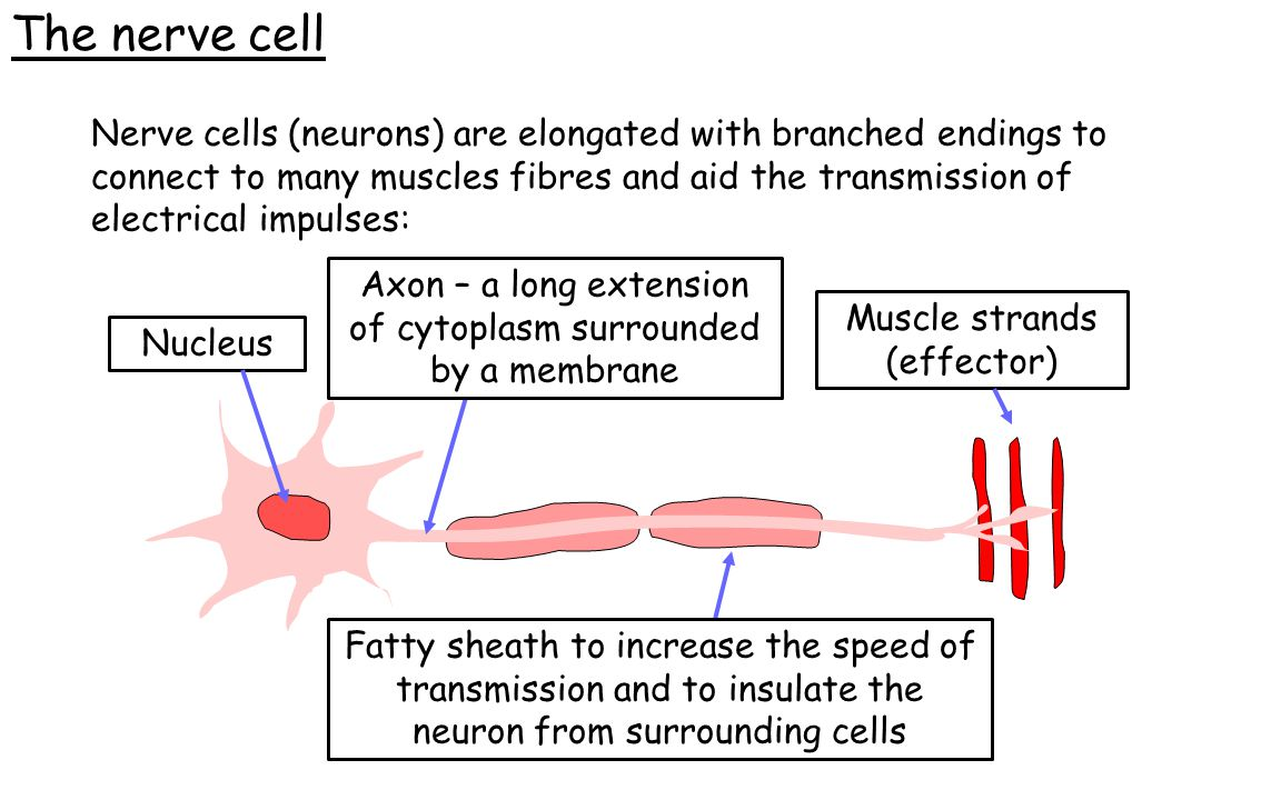 The nerve cell