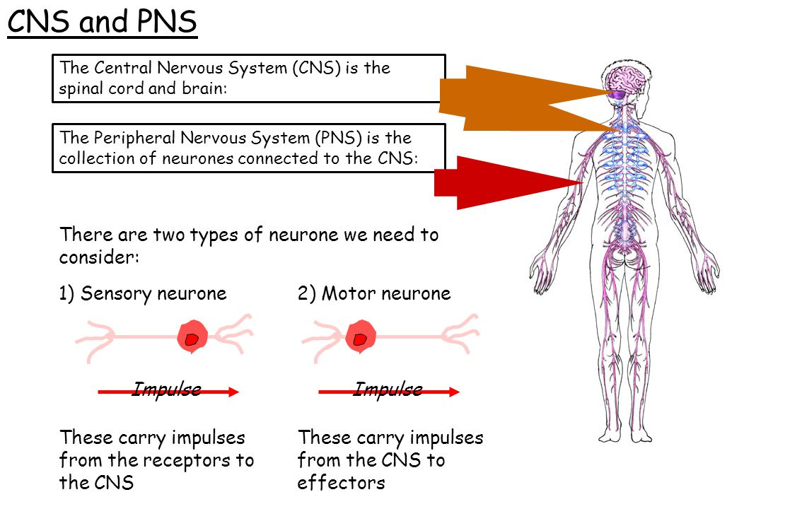 CNS and PNS There are two types of neurone we need to consider: