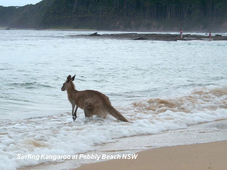 Surfing Kangaroo at Pebbly Beach NSW