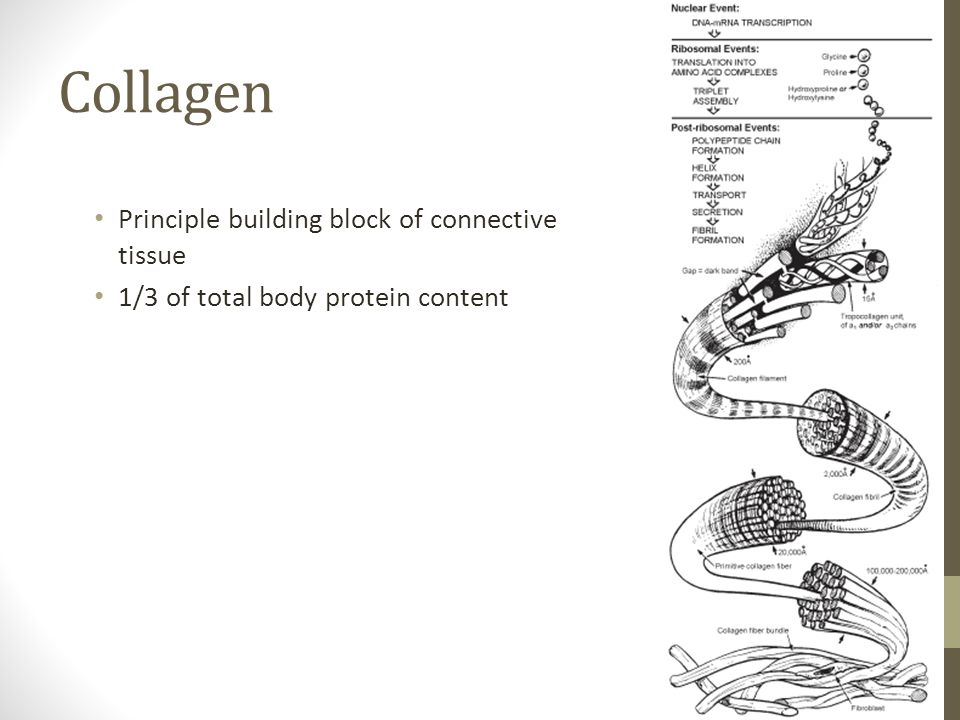 Collagen Principle building block of connective tissue