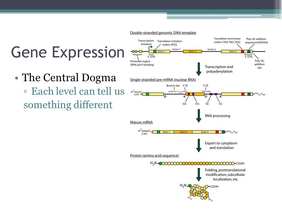 Gene Expression The Central Dogma Each level can tell us
