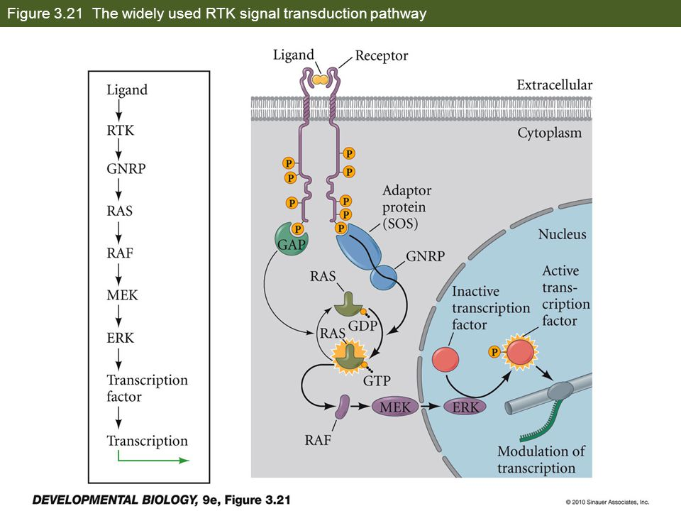 Figure 3.21 The widely used RTK signal transduction pathway