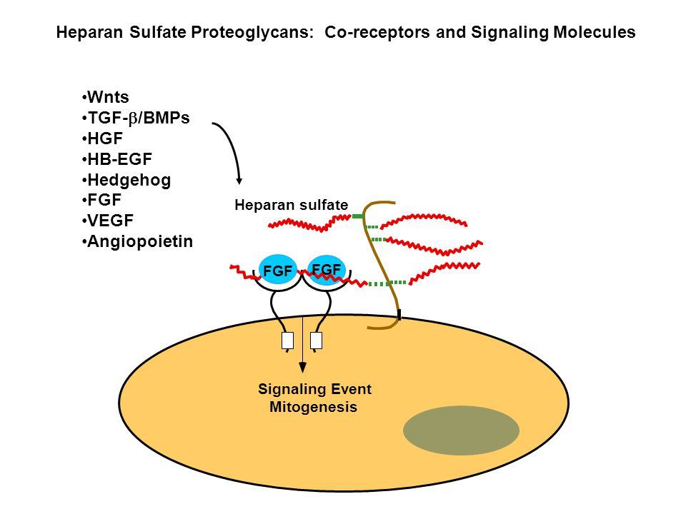 Heparan Sulfate Proteoglycans: Co-receptors and Signaling Molecules