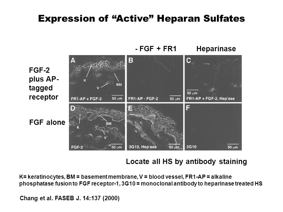 Expression of Active Heparan Sulfates