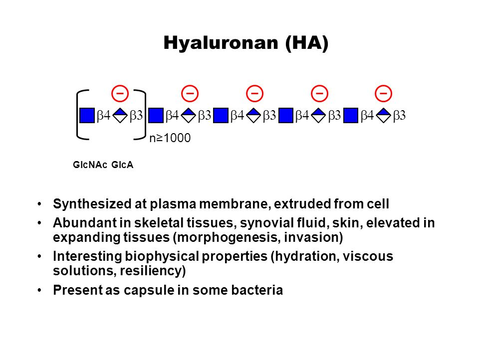 Hyaluronan (HA) b. 4. 3. b4. b3. n≥1000. GlcNAc. GlcA. Synthesized at plasma membrane, extruded from cell.