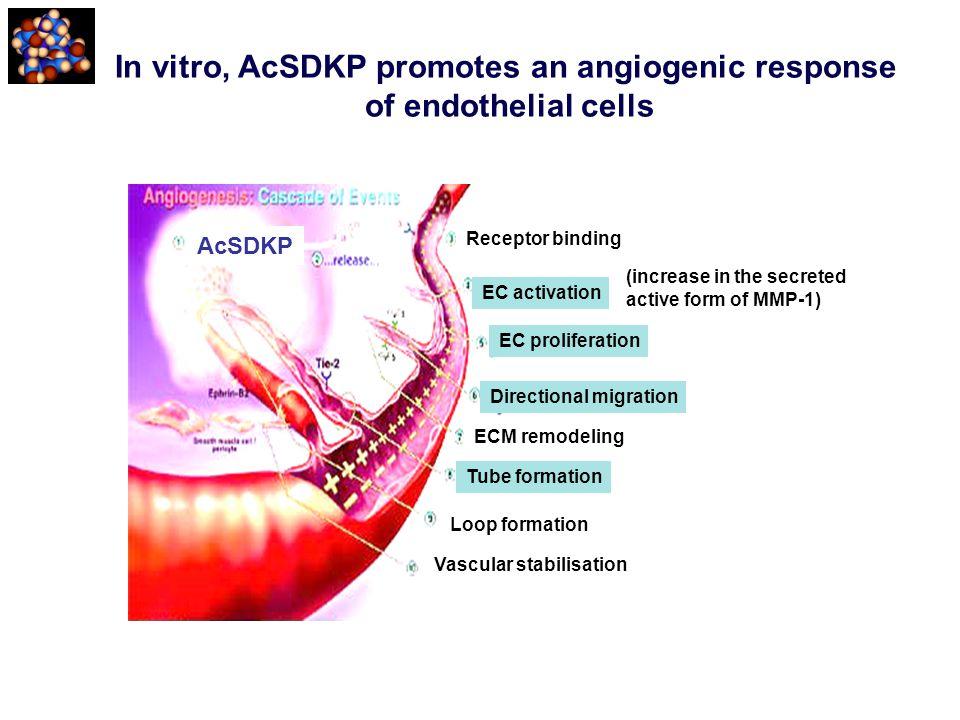 In vitro, AcSDKP promotes an angiogenic response