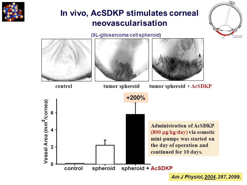 In vivo, AcSDKP stimulates corneal neovascularisation