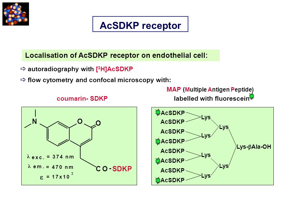 AcSDKP receptor Localisation of AcSDKP receptor on endothelial cell: O