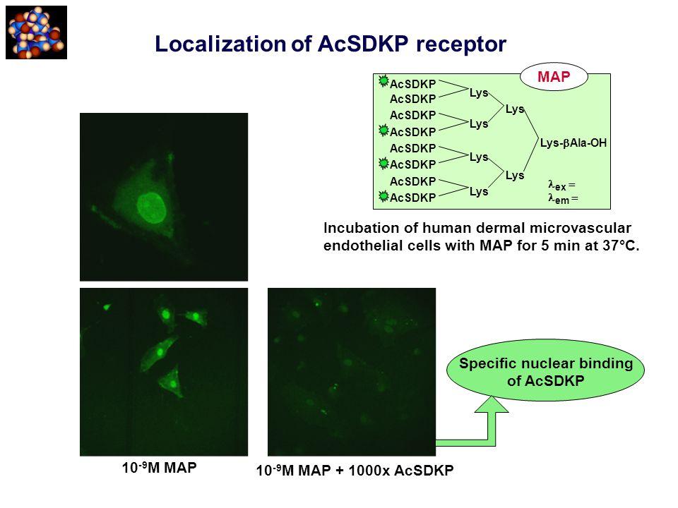 Localization of AcSDKP receptor