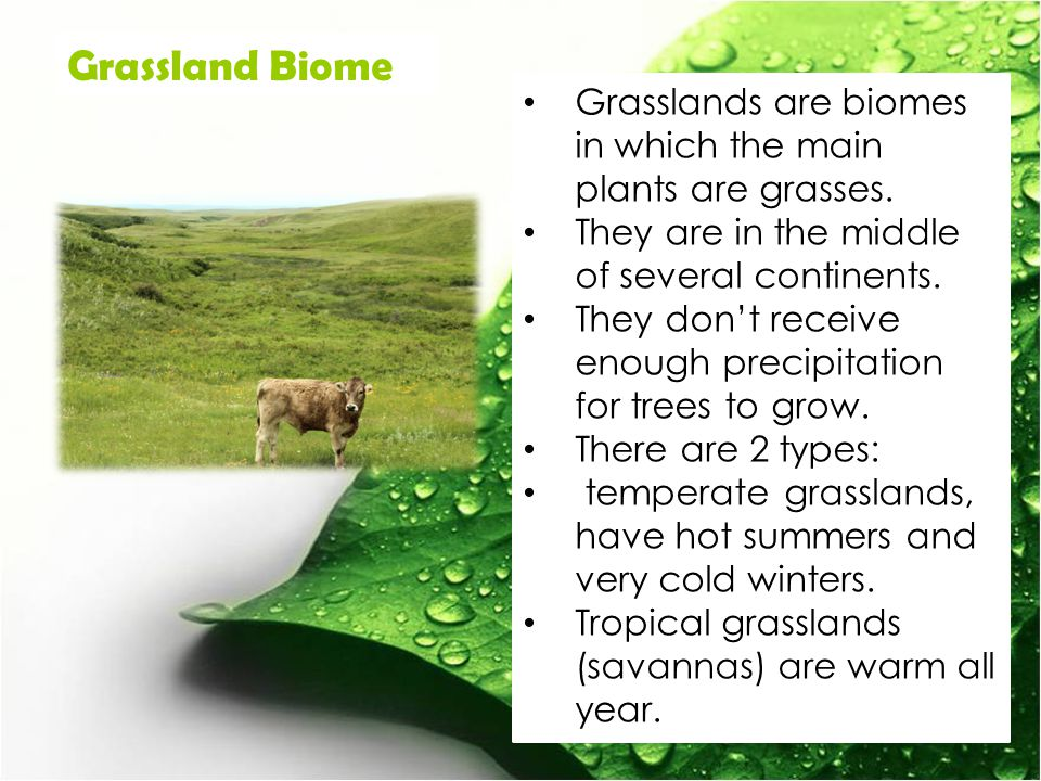 Grassland Biome Grasslands are biomes in which the main plants are grasses. They are in the middle of several continents.