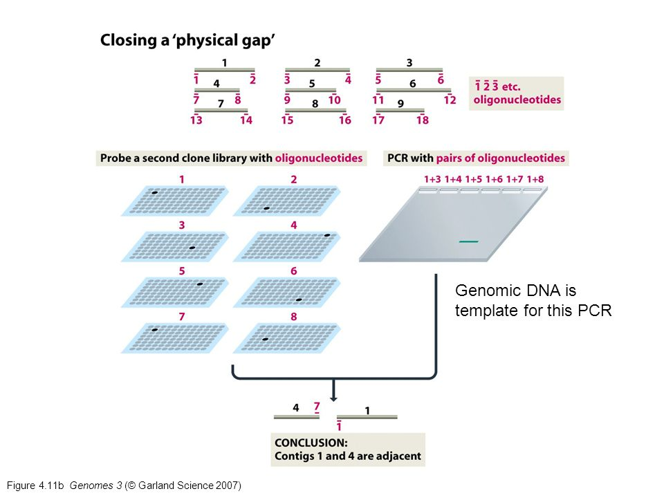Bme 130 genomes lecture 5 genome assembly i the good old for How much template dna for pcr