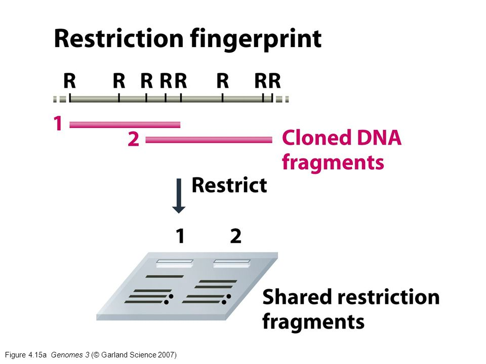 Figure 4.15a Genomes 3 (© Garland Science 2007)