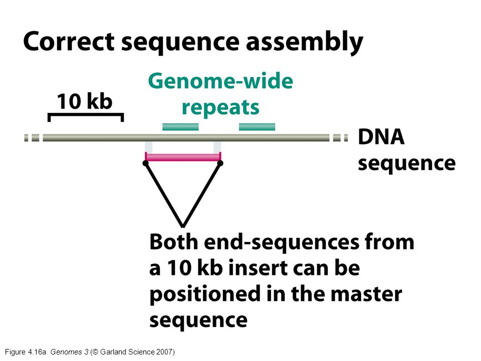 Figure 4.16a Genomes 3 (© Garland Science 2007)