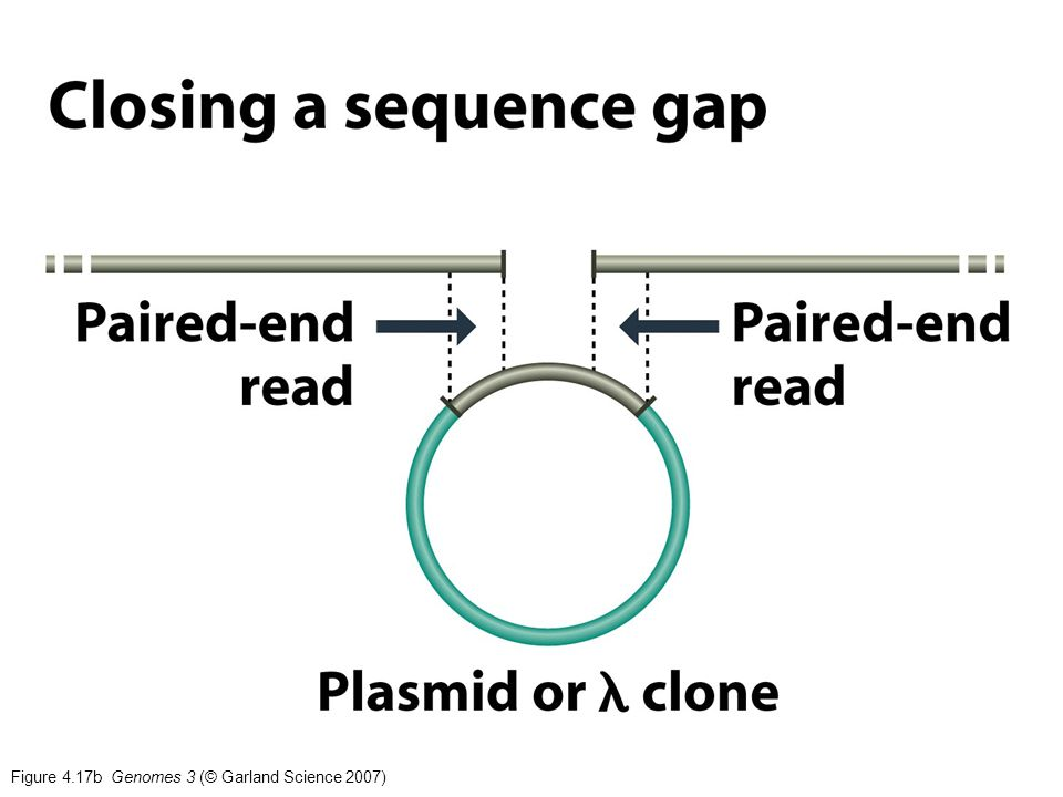 Figure 4.17b Genomes 3 (© Garland Science 2007)