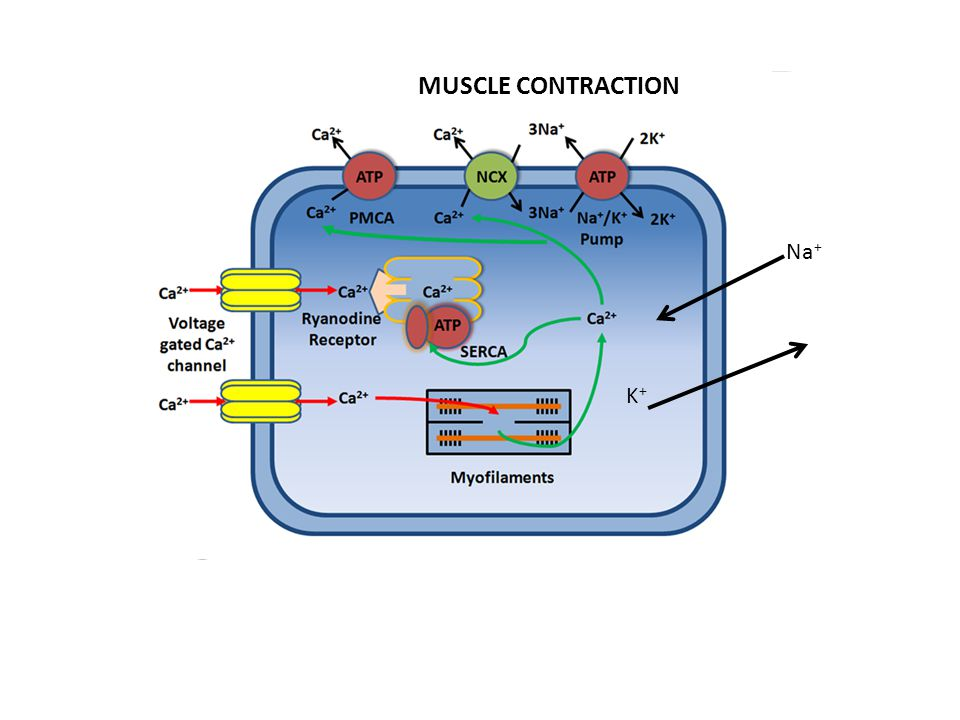 MUSCLE CONTRACTION Na+ K+