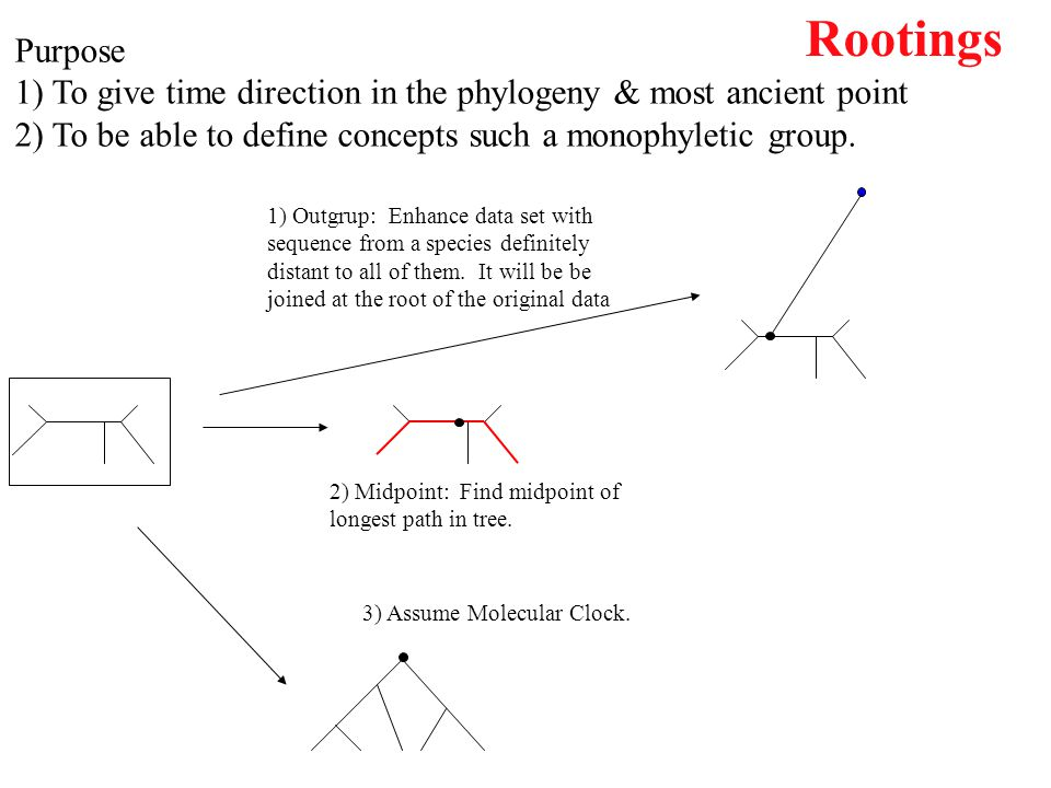 Rootings Purpose. 1) To give time direction in the phylogeny & most ancient point. 2) To be able to define concepts such a monophyletic group.