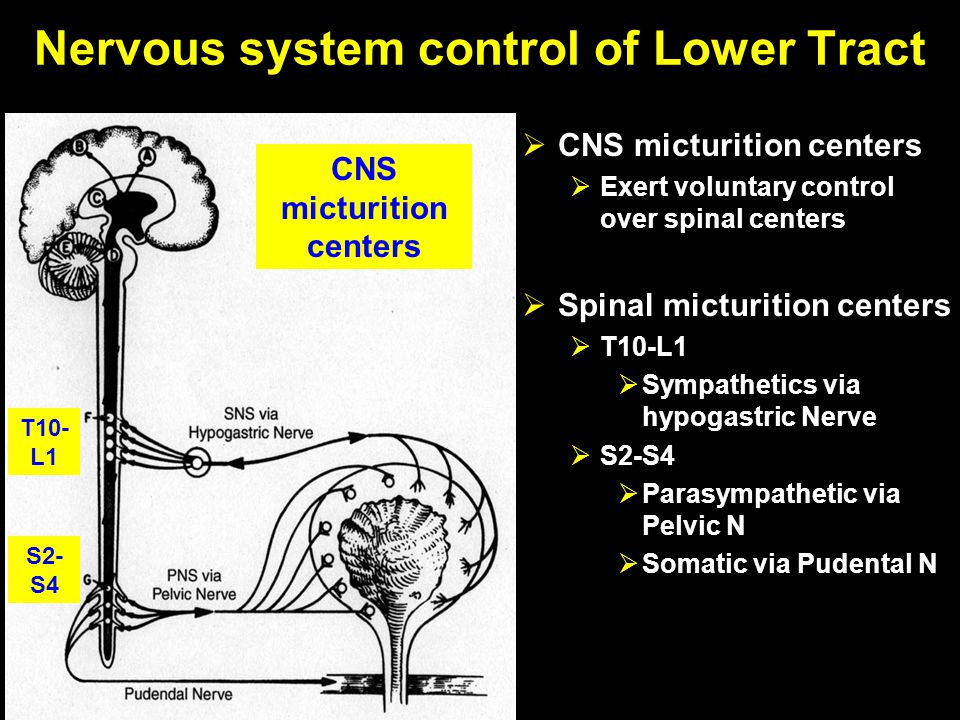 Nervous system control of Lower Tract