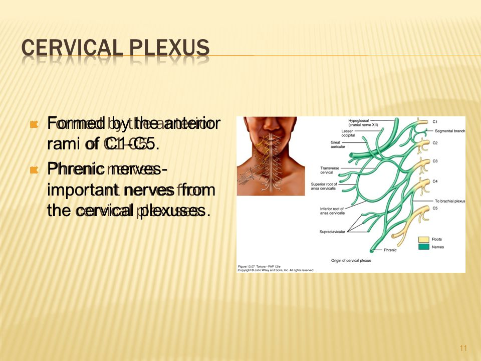 Cervical Plexus Formed by the anterior rami of C1-C5.
