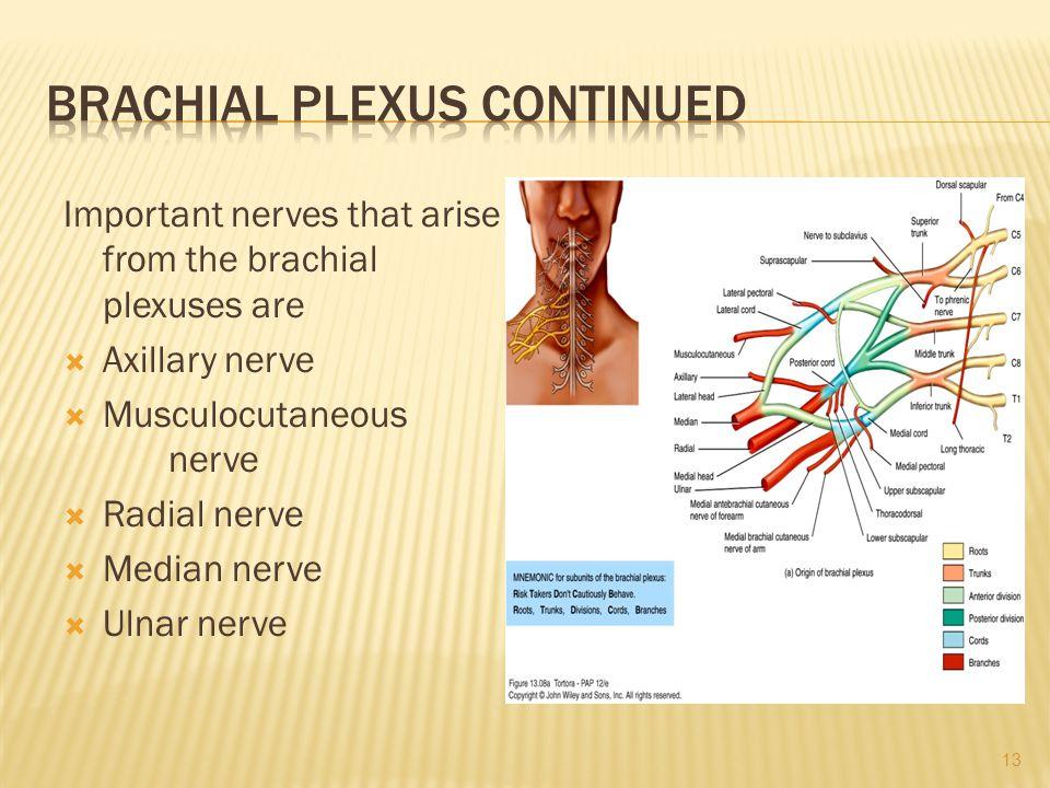 Brachial plexus continued