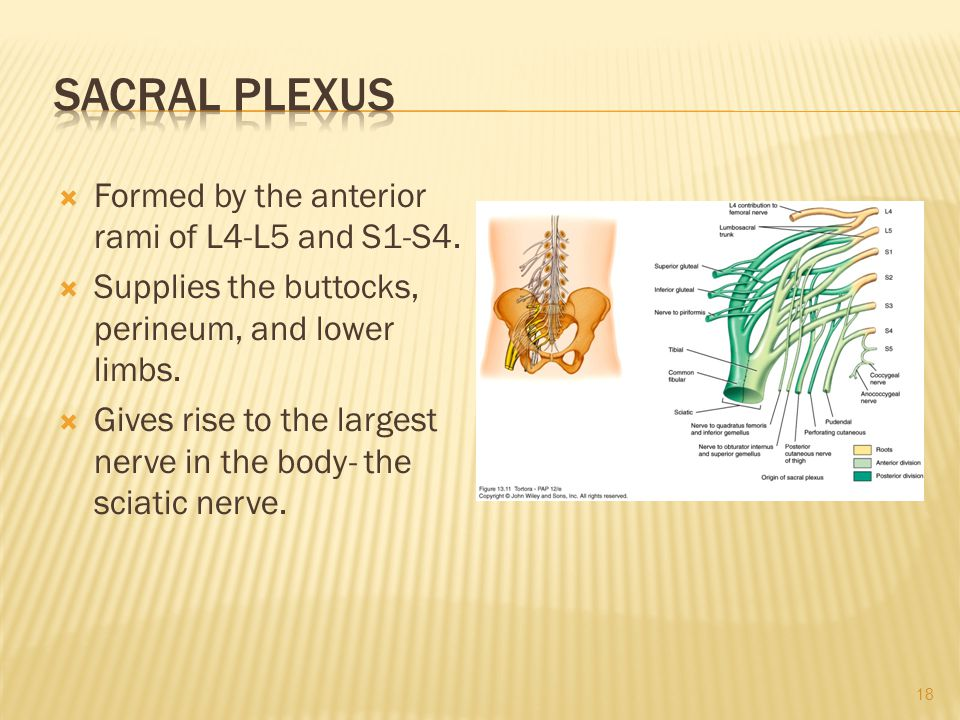Sacral Plexus Formed by the anterior rami of L4-L5 and S1-S4.