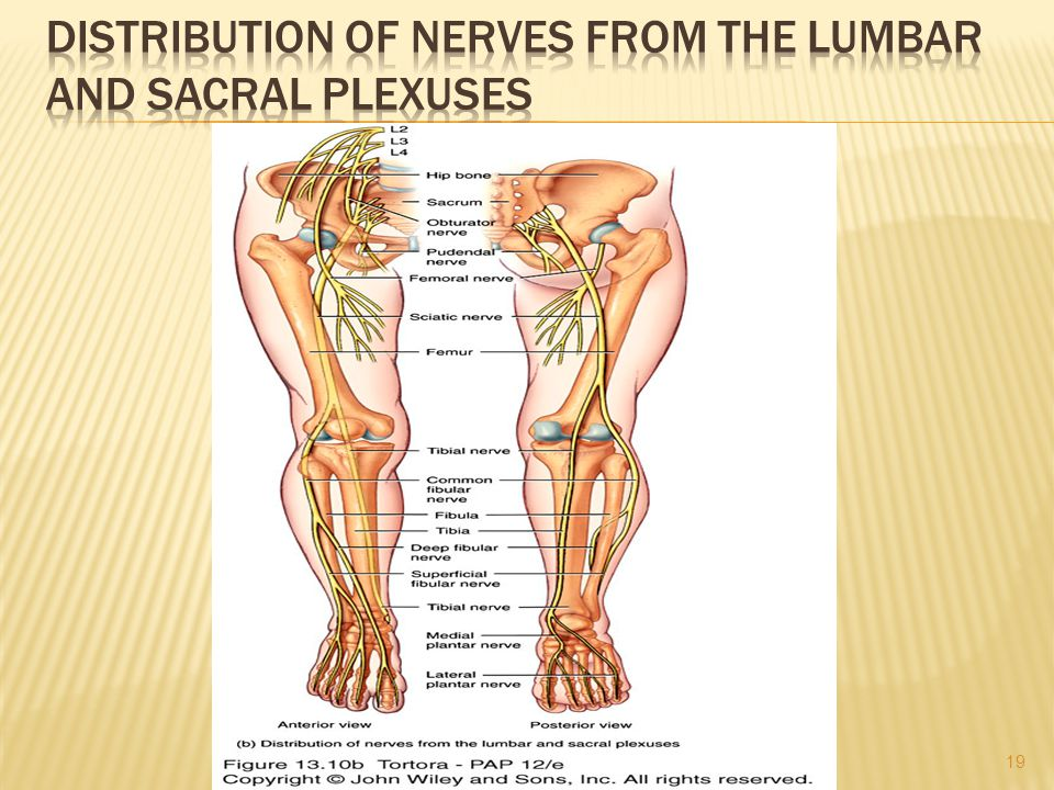 Distribution of Nerves from the Lumbar and Sacral Plexuses