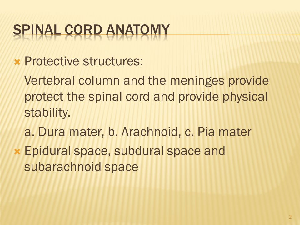 Spinal Cord Anatomy Protective structures: