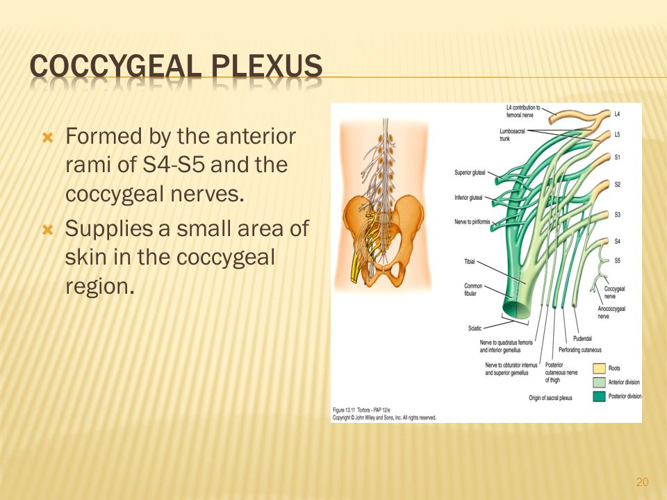 Coccygeal Plexus Formed by the anterior rami of S4-S5 and the coccygeal nerves.