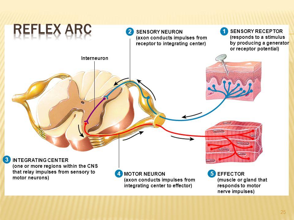 Reflex Arc 1 2 3 4 5 1 2 3 4 1 2 3 1 2 1 SENSORY NEURON