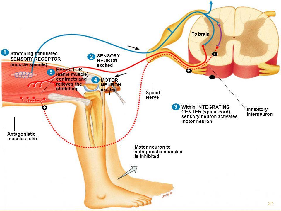1 1 2 5 1 2 4 3 Stretching stimulates