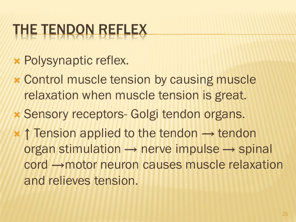 The Tendon Reflex Polysynaptic reflex.