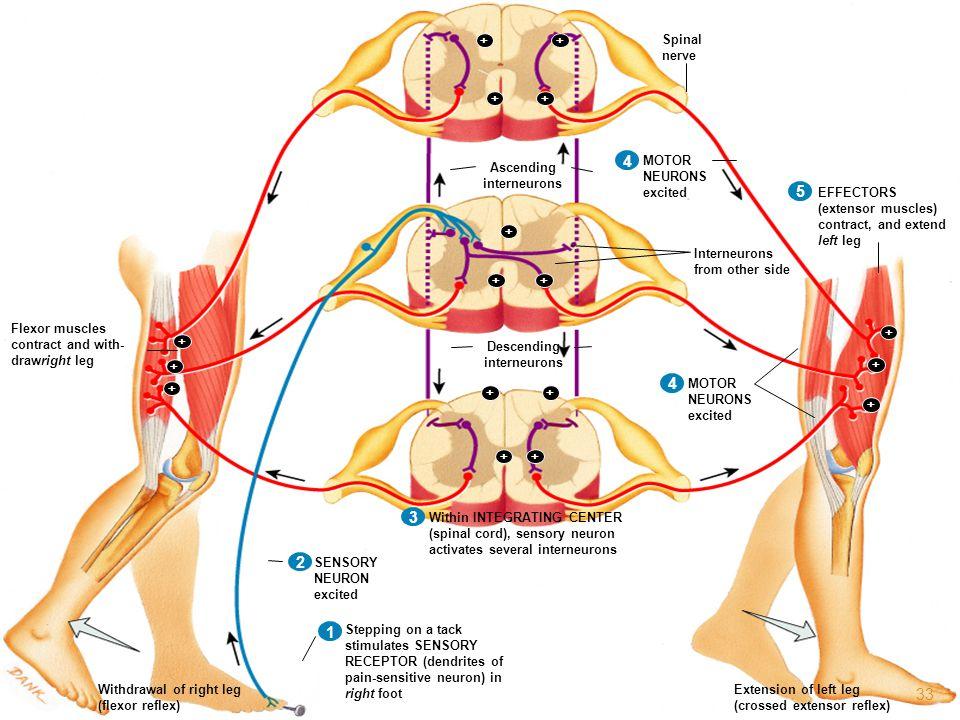1 2 3 4 5 1 2 3 4 1 2 3 1 2 1 + Ascending interneurons EFFECTORS