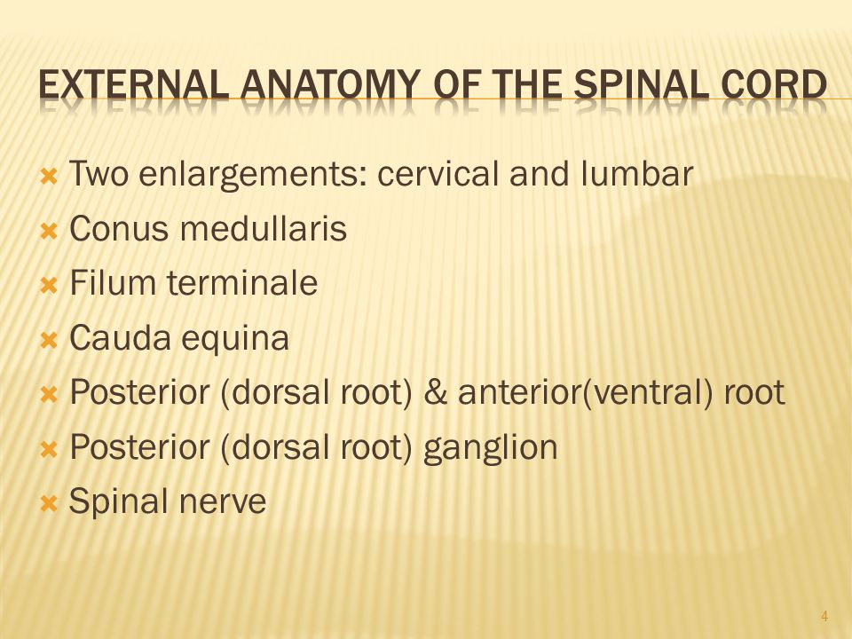 External Anatomy of the Spinal Cord