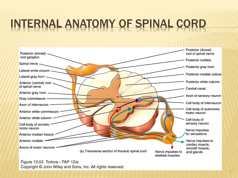 Internal Anatomy of Spinal Cord