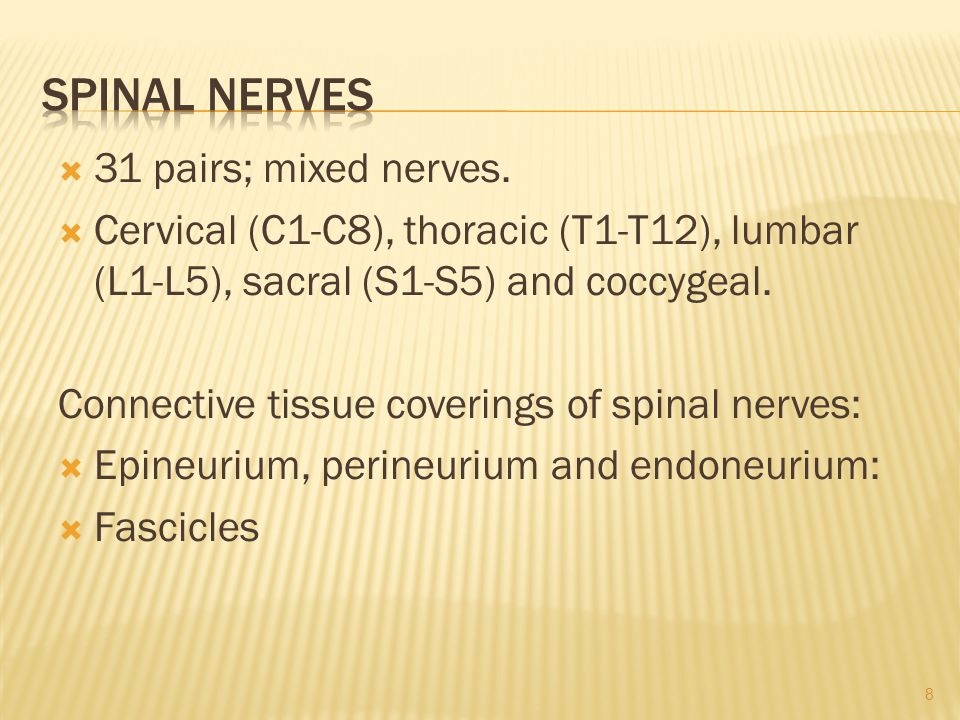 Spinal Nerves 31 pairs; mixed nerves.