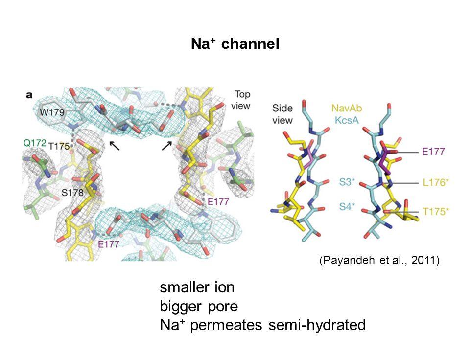 Na+ permeates semi-hydrated