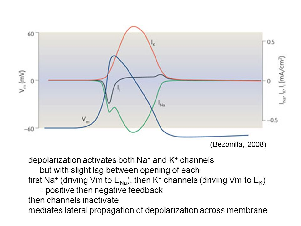 depolarization activates both Na+ and K+ channels