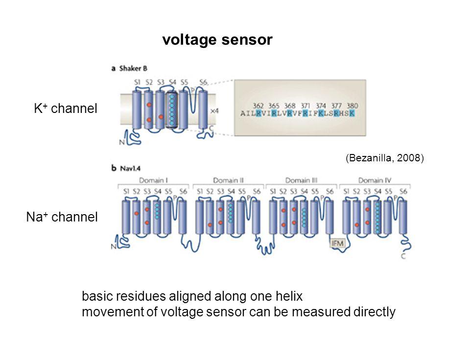 voltage sensor K+ channel Na+ channel