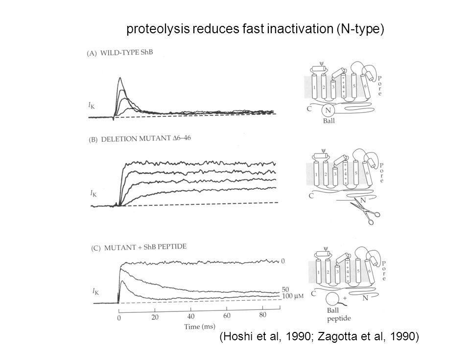 proteolysis reduces fast inactivation (N-type)