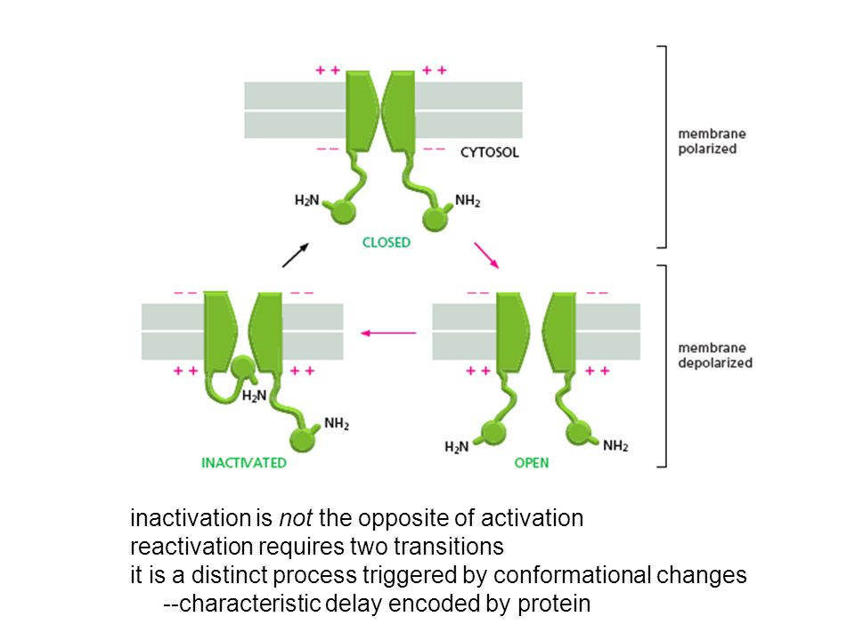inactivation is not the opposite of activation