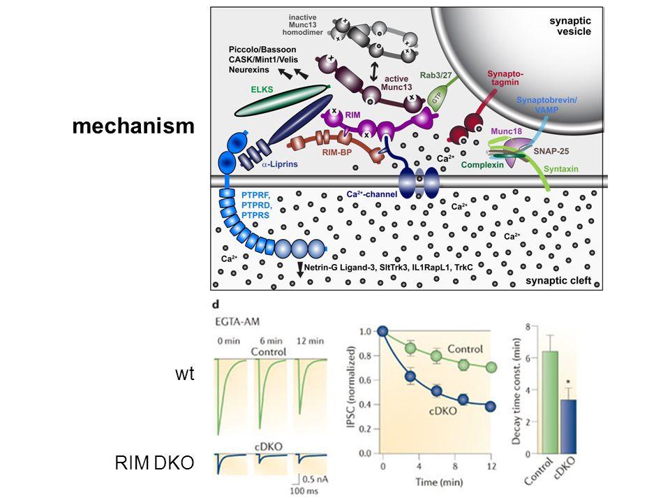 mechanism wt RIM DKO