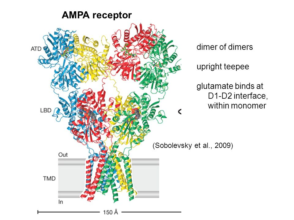 AMPA receptor dimer of dimers upright teepee glutamate binds at