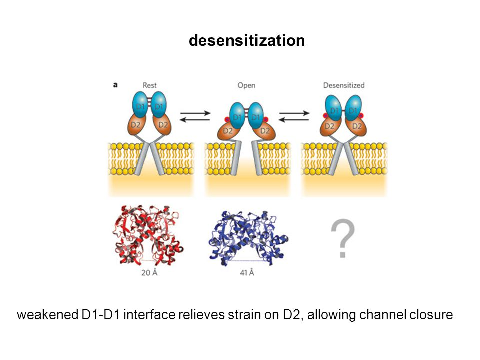 desensitization weakened D1-D1 interface relieves strain on D2, allowing channel closure