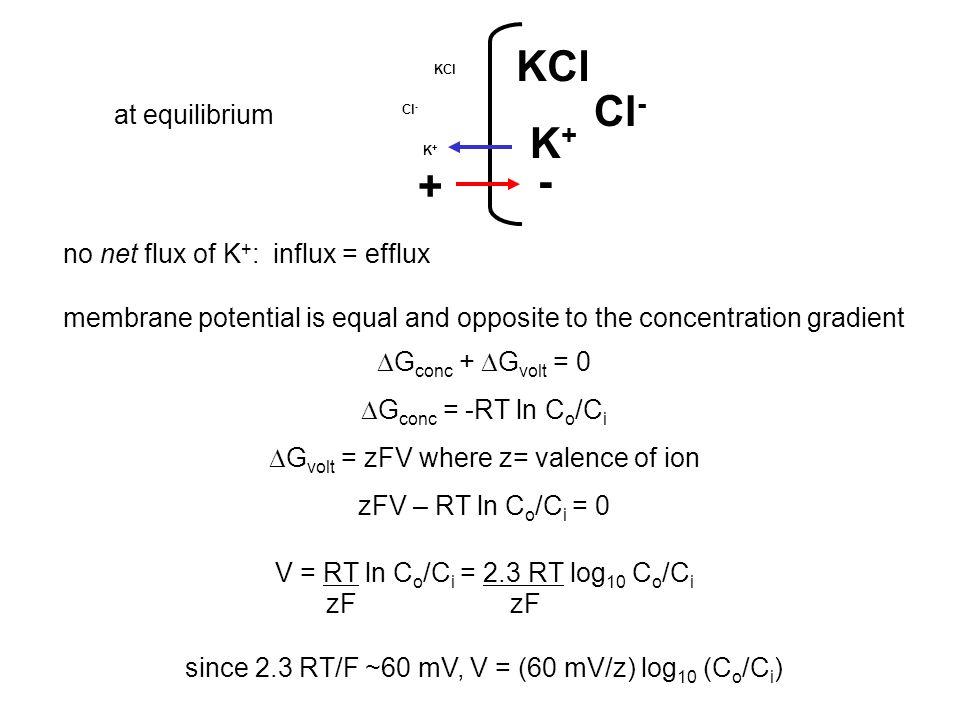 KCl Cl- K+ - + at equilibrium no net flux of K+: influx = efflux